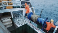 Crew of Fishermen Open Trawl Net with Caugth Fish on Board of Commercial Fishing Ship