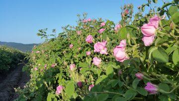 рози поле