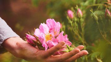 розов цвят