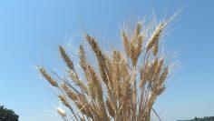 сноп пшеница