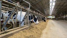 ферма крави
