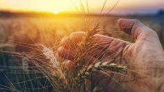 Hand examining ripe wheat crops in field