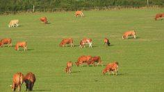 cows-904932_960_720