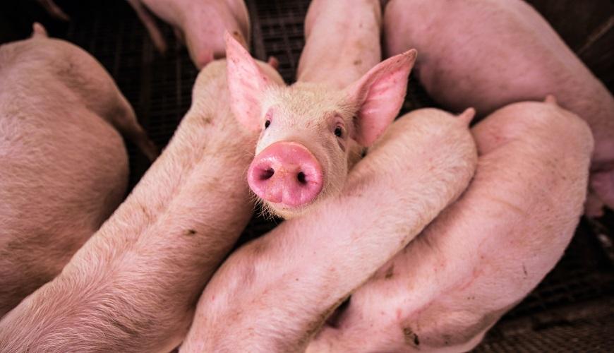 """Материал от зрителите: """"Съвети за хранене на свине през лятото"""""""