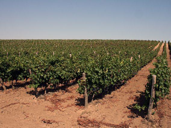 grapes-5