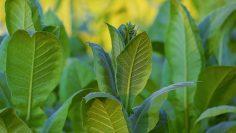 tobacco-4457130_960_720