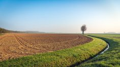 Row of tall bare trees at the edge of a plowed field