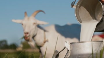Farmer pours goat's milk into can, goat grazes in the background