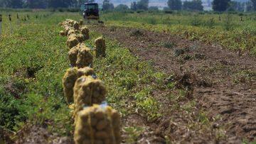 поле с картофи
