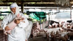 Asian veterinarian working and checking the big pig healthy in hog farms, animal and pigs farm industry