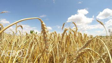 пшеница клас11