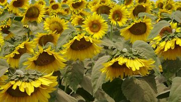 слънчоглед поле