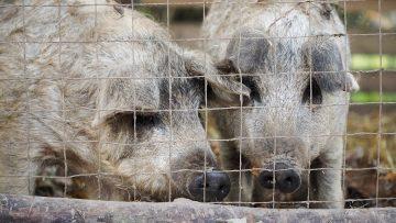 Shaggy pigs in an enclosure on a farm
