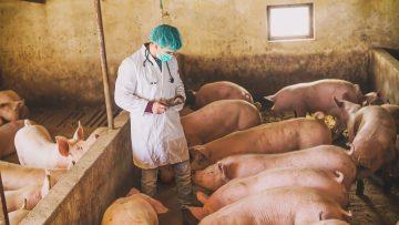 Veterinarian checking pigs at pigsty. Modern medicine. Pig Farm. Natural lights.