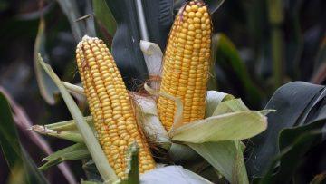 царевица кочани поле