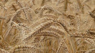 wheat-8762_960_720