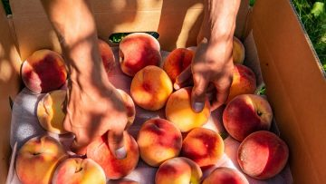 ripe Peach fruits in a package box