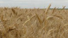 пшеница венци върбанов