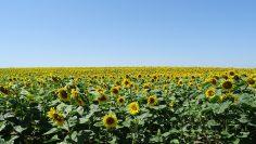 слънчоглед поле нива