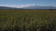 царевица септември поле