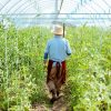 Senior agronomist walking with rakes on the tomatoes plantation in the greenhouse on a small agricultural farm, rear view