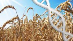 crispr пшеница
