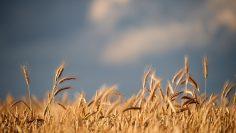 Single weat ears on weatfield with sky background