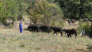 говеда