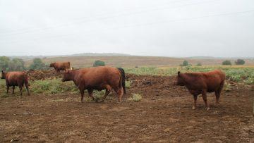 пасища говеда