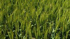 пшеница зелена дропла