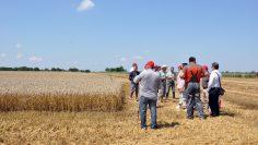 пшеница и хора