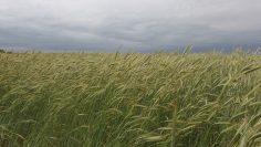 пшеница поле небе