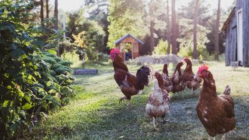 free range chicken in the farm
