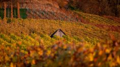 Beautiful autumn landscape with colorful vineyards